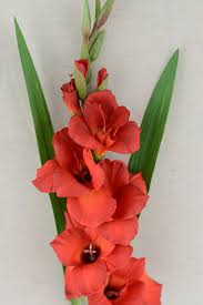 gladiolus flowers gladiolus flower 33in gladiolus flower gladioli and flower