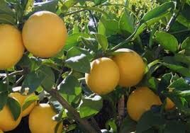 When Does A Lemon Tree Produce Fruit - citrus trees lemon lime orange grapefruit and kumquat