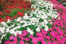 impatiens flowers impatiens plant genus britannica