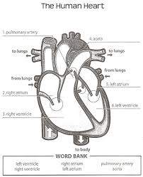 structure of the heart worksheet answers free worksheets library