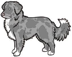 e locus australian shepherd dog coat colour genetics