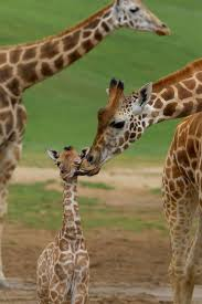 april the giraffe gives birth u20136 facts you may not know about giraffes