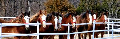 Budweiser Clydesdale Barn Clydesdales Faq