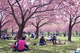 10 places to see cherry blossoms in new york kid 101