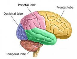 Thalamus Part Of The Brain The Senses A Primer