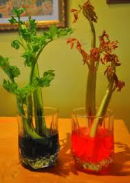 a pretty awesome science experiment get 2 stalks of celery and