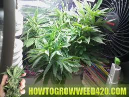 cfl lights for growing weed marijuana grow lighting how to grow weed fast indoor marijuana