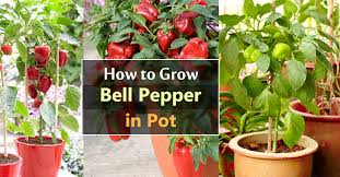 Types Of Vegetables To Grow In A Garden - growing bell peppers in pots how to grow bell peppers in
