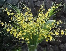 oncidium orchid oncidium orchid oncidium spp calyx flowers inc