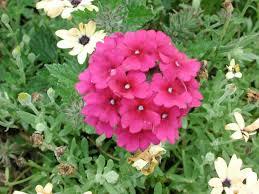 verbena flower verbena superbena burgundy annual flower research at bluegrass