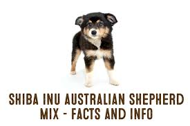 characteristics of a australian shepherd shiba inu australian shepherd dog mix u2013 information and facts my