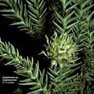 <b>Taxodiaceae</b>
