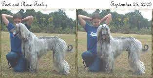 afghan hound sale afghan hound for sale show quality dog for pet companion obedience