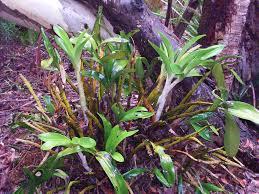 australian native plants sydney rock lily aboriginal use of native plants