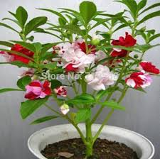 Flower Seeds Online - online buy wholesale impatiens flower seeds from china impatiens