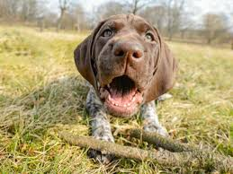 affenpinscher a donner 100 german dog names american kennel club