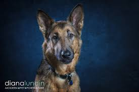 belgian shepherd los angeles pet photography portraits in a dance studio pet photography