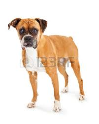 boxer dog white boxer dog stock photos royalty free boxer dog images and pictures