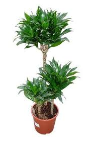 plante d駱olluante bureau 11 best plantes de bureau images on office plants