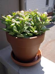 Best Plants For No Sunlight Jade Plant Care Instructions How To Care For A Jade Plant