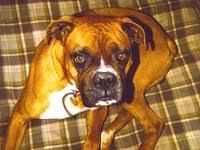 boxer dog for adoption illinois boxer rescue u2015 adoptions u2015 rescueme org