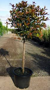 gondwana wholesale native plant nursery australia bangalow tree tales acmena firescreen where to buy around