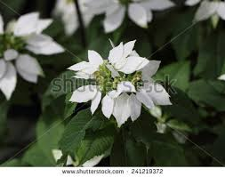 white poinsettia white poinsettia stock images royalty free images vectors