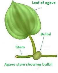 Vegetative Propagation By Roots - cant understand vegetative reproduction in plants through stems r