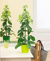 buy house plants now kalanchoe u0027magic bells u0027 bakker com