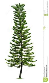 spruce tree royalty free stock photo image 33175255