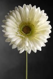 gerbera daisies dozen white gerbera daisies
