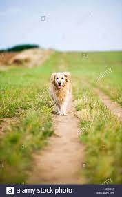 jogging with australian shepherd running dog stock photos u0026 running dog stock images alamy
