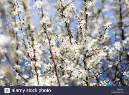 tiny white flowers on a hedgerow bush in the