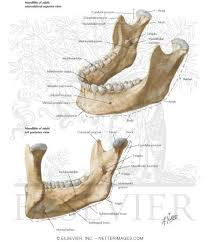 Anatomy Of The Human Skeleton Skull Bones In The Human Body Skull Anatomy Learn Bones