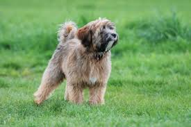 hair cuts for the tebelan terrier tibetan terrier appearance grooming