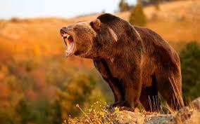Bears Montana Hunting And Fishing - grizzly bear hunting a no go in montana this year montana hunting