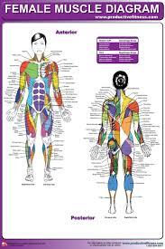 Images Female Anatomy Anatomy Chart Muscle Diagram Female