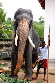 sri lankan l file for centuries elephants played an important in sri