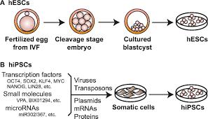 human pluripotent stem cells an emerging model in developmental