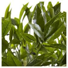 Laurel Topiary - 42