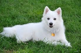 american eskimo dog brown american eskimo puppies information behavior and training