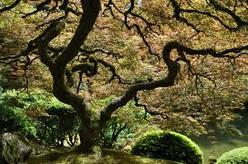 the most beautiful tree in the world japanese garden port flickr