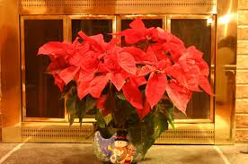 poinsettia u2013 pointers for indoor care walter reeves the georgia
