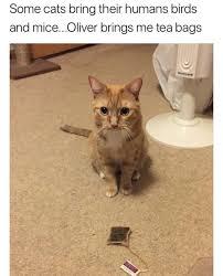 Tea Bag Meme - cat brings tea bags cute daily lol pics