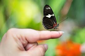 butterfly on finger free photo on pixabay
