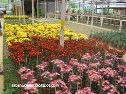 flower nursery at js nursery kundasang sumandak kinabalu little