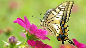 picture of butterfly on flower in hd resolution hd wallpapers