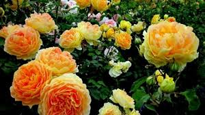 how to grow rose garden care maintenance tips for the beginners