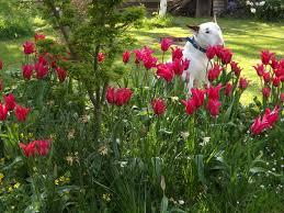avery plant centre u2013 naturalised tulip bulbs