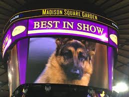 australian shepherd 2015 westminster westminster dog show u0027best in show u0027 winner breed runner ups